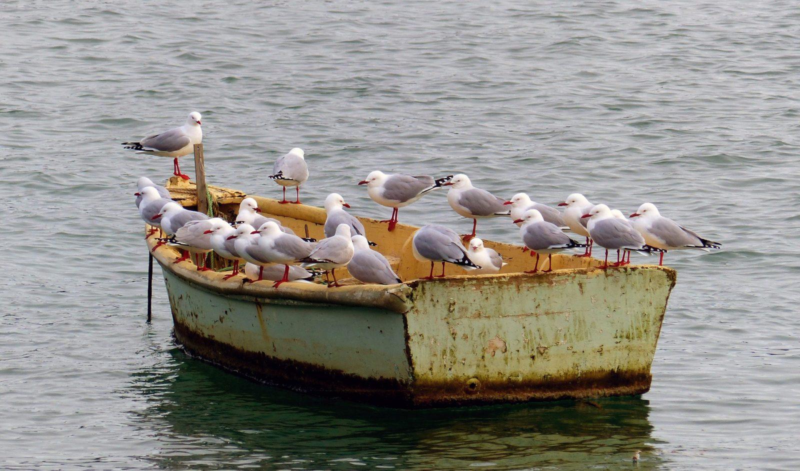 Stop mågerne før de tæppebomber dækket: sådan holdes fuglene væk fra båden